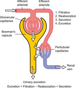 514px-Physiology_of_Nephron