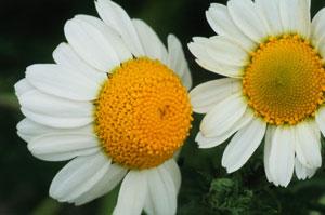 impacchi di camomilla come rimedio naturale per gli eritemi solari